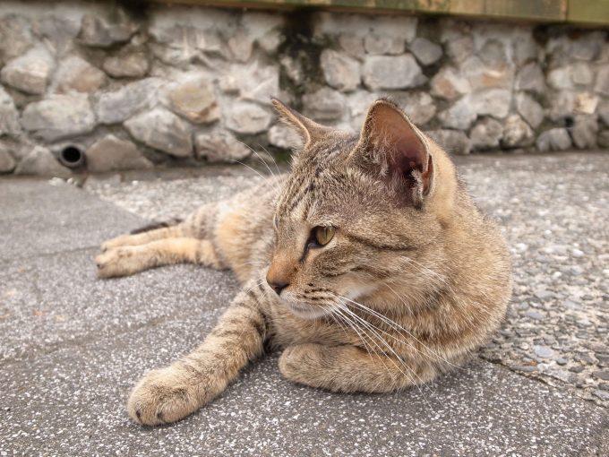 台湾の猫村のホウトンの猫キジトラの写真