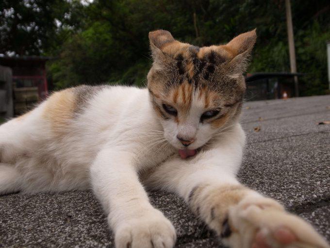 台湾の猫村のホウトンの毛づくろいする猫の写真