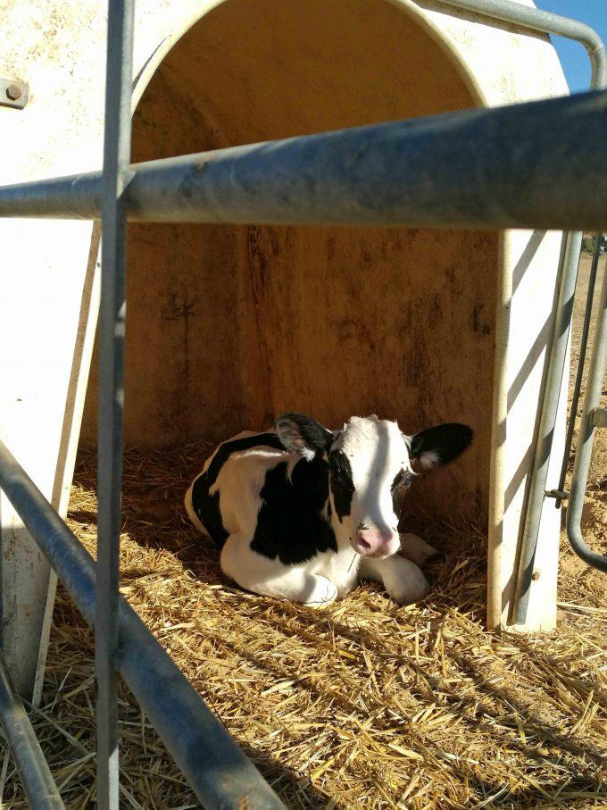 カミーノデサンチアゴ巡礼中の仔牛の写真