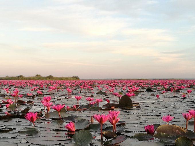 タレーブアデーンのピンクの蓮のじゅうたんの写真
