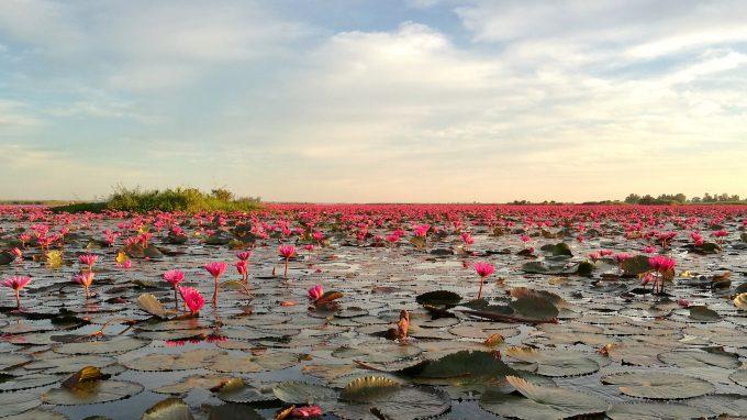タレーブアデーンのピンクの蓮の写真